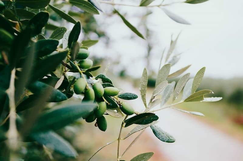 fausse olives noire