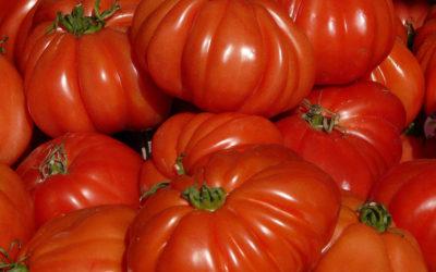 Une fausse tomate Coeur de boeuf dans nos rayons