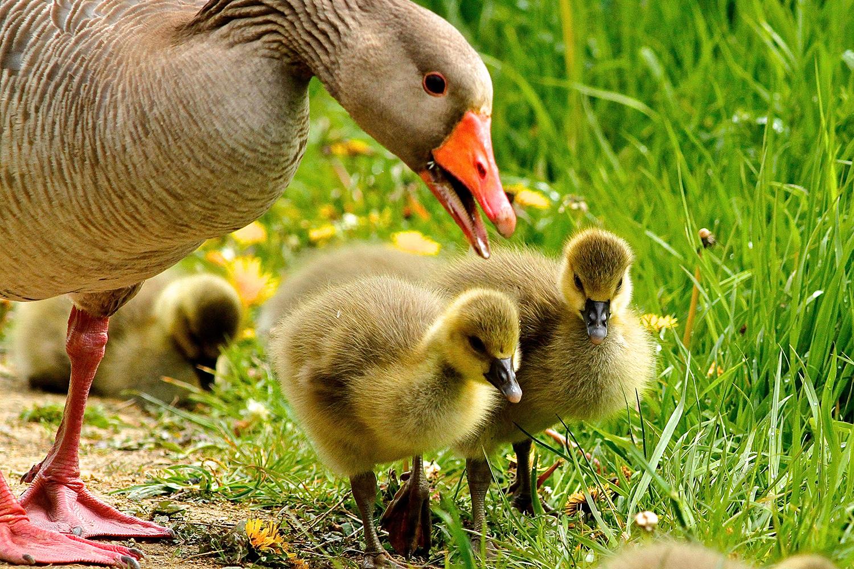 oie elevage foie gras